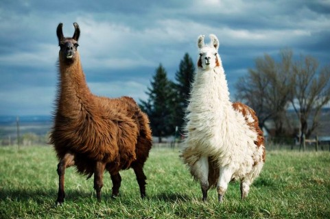 http---mashable.com-wp-content-gallery-13-llamas-in-support-of-llama-freedom-llamas-in-support-of-freedom-11